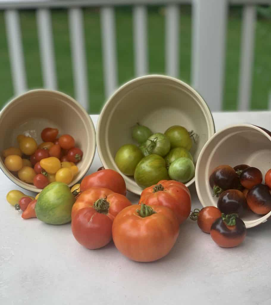 Assorted Tomatoes pictured freshly picked from the garden in 3 separate bowls