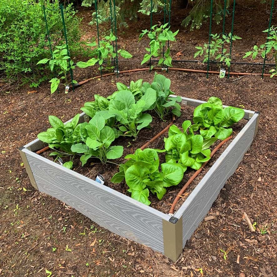 Chef Cindy's home garden pictured with one raised bed filled with lettuce greens