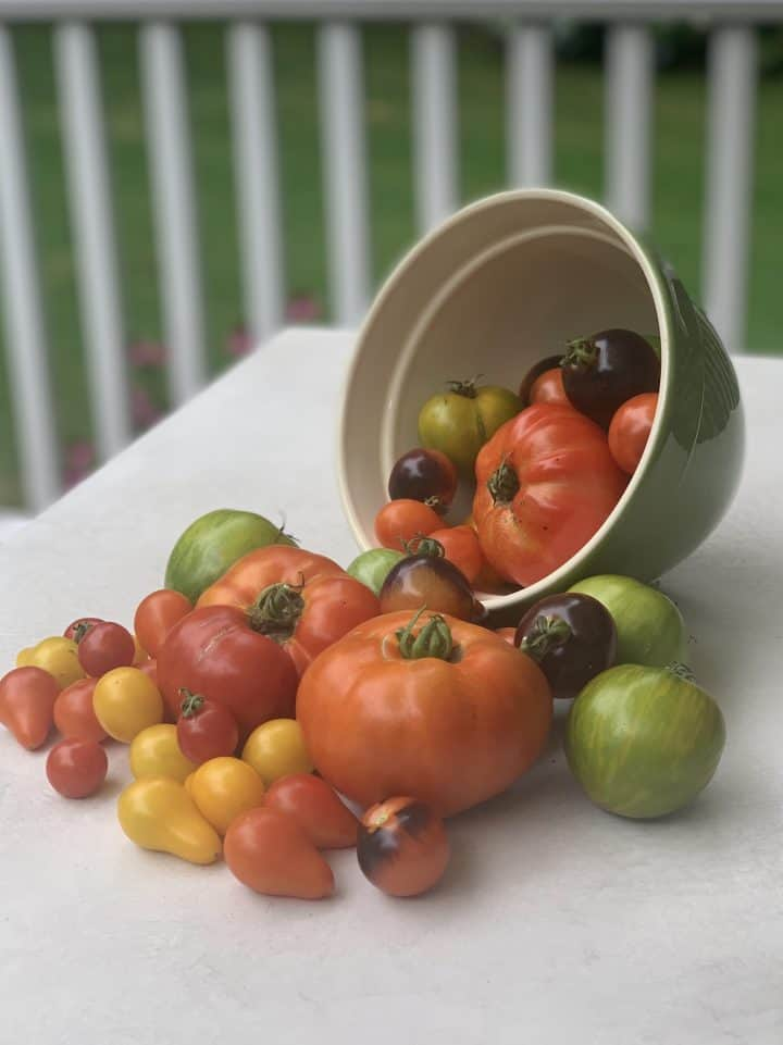 Assorted Garden Tomatoes freshly picked and displayed falling out of a bowl