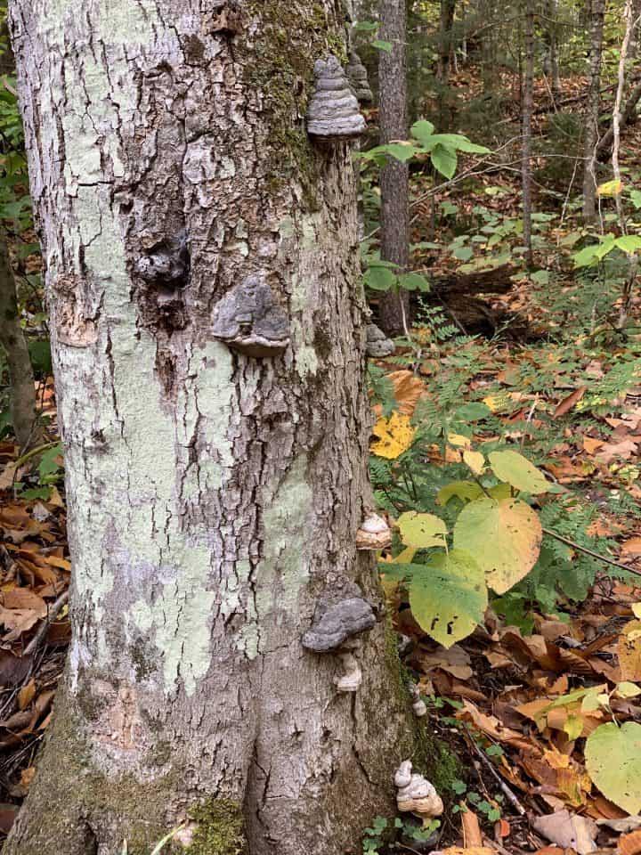 Wild Mushrooms growing on tree