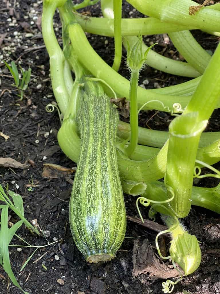 Zucchini on the vine